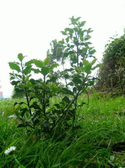 El acebo que plantamos en Gijón....